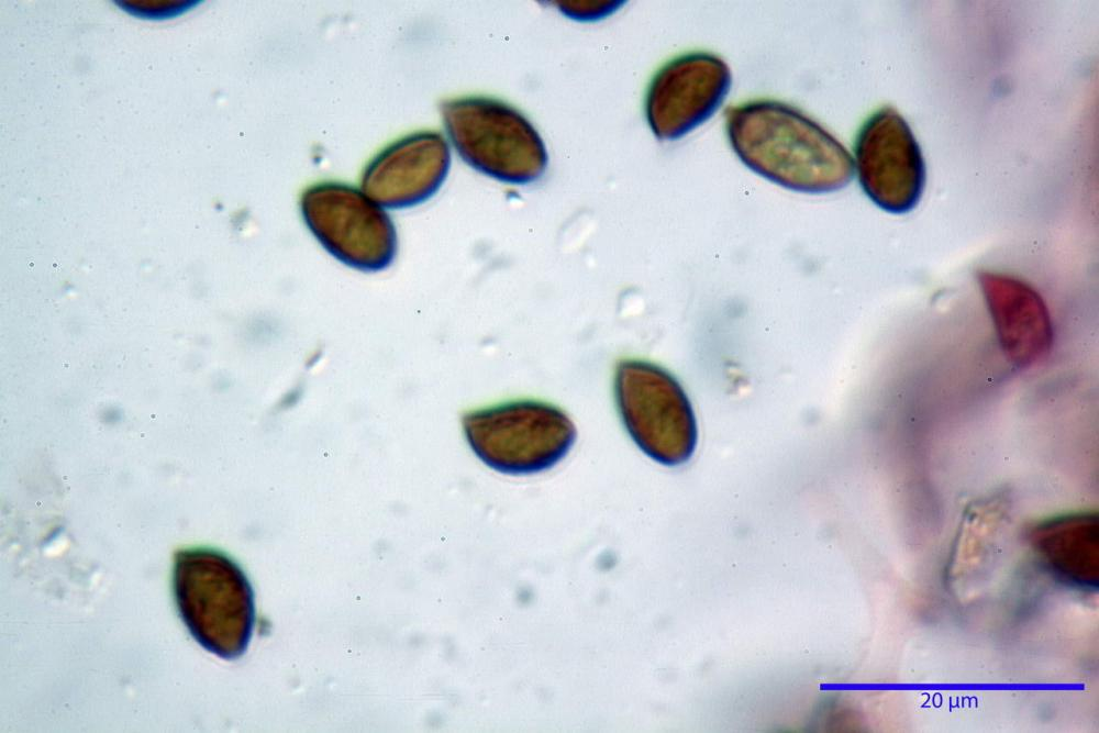 Phaeocollybia lugubris 6657 65.jpg