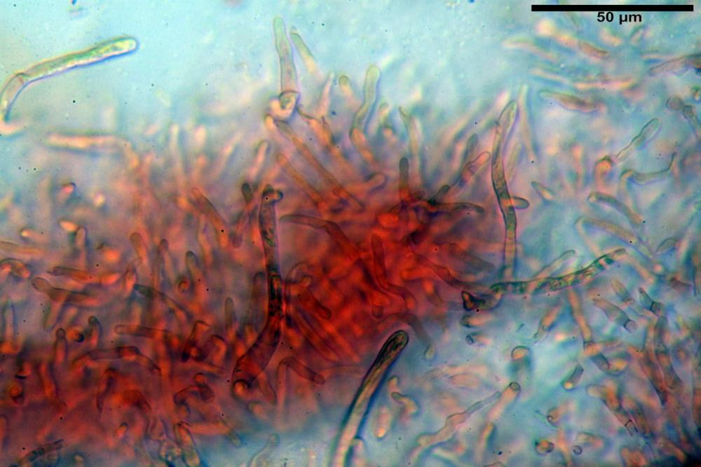 Russula tinctipes 7355 14.jpg