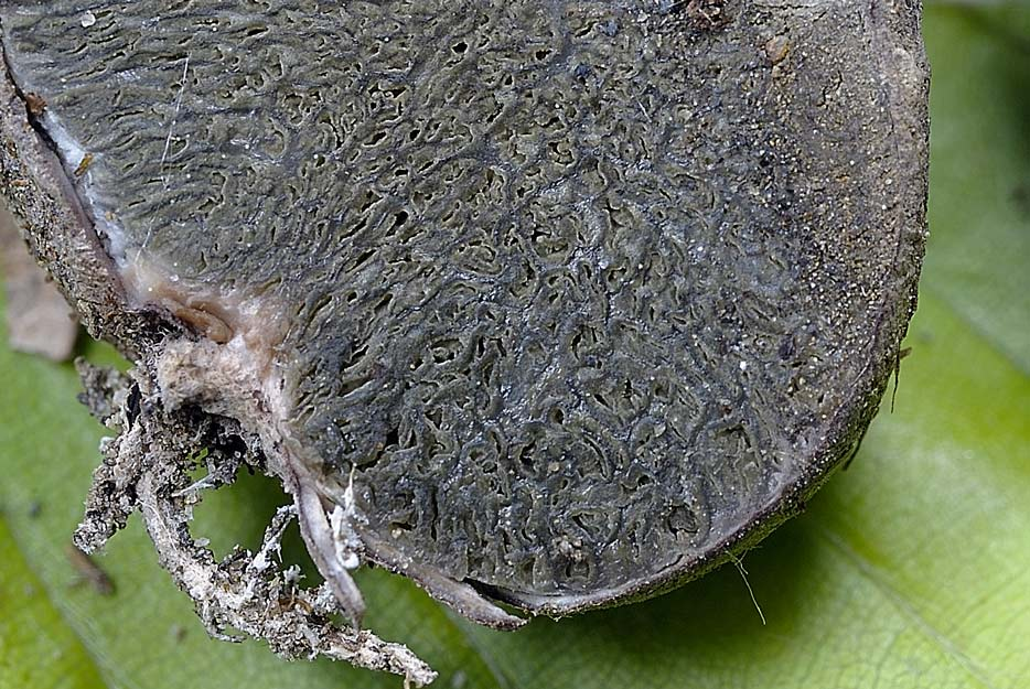 hysterangium crassum 4656 05.jpg