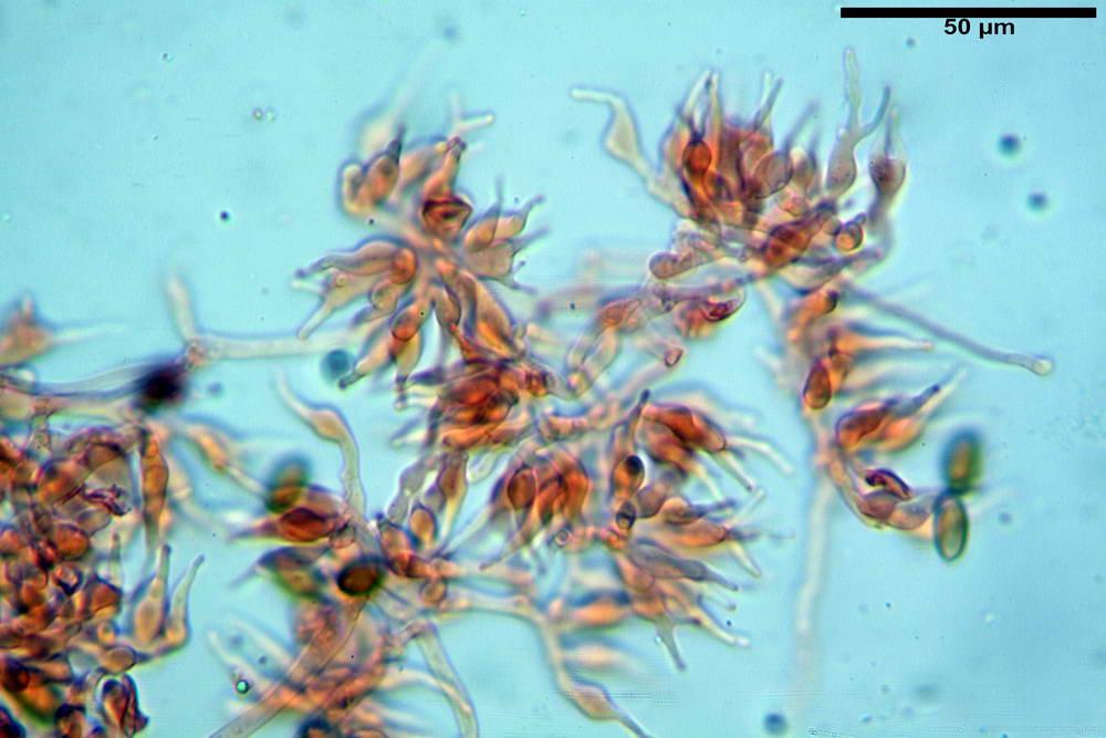 psilocybe semilanceata 4872 25.jpg