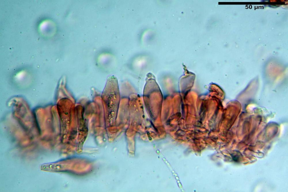 Russula graveolens 6800 24.jpg