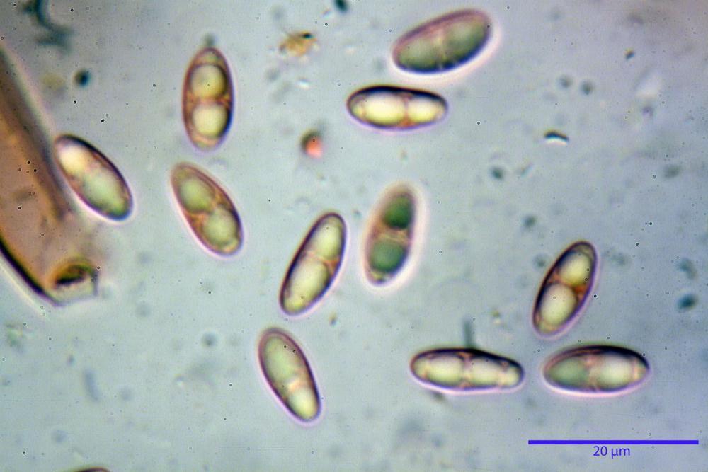 Podophacidium xanthomelum 7945 51_resize.JPG