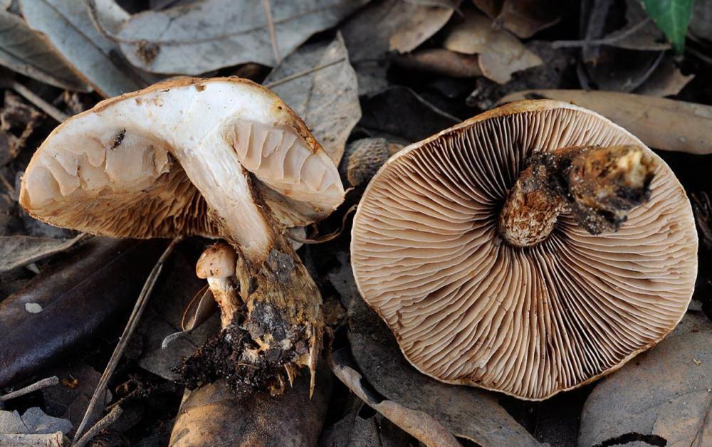 Hebeloma laterinum 5364 03.jpg