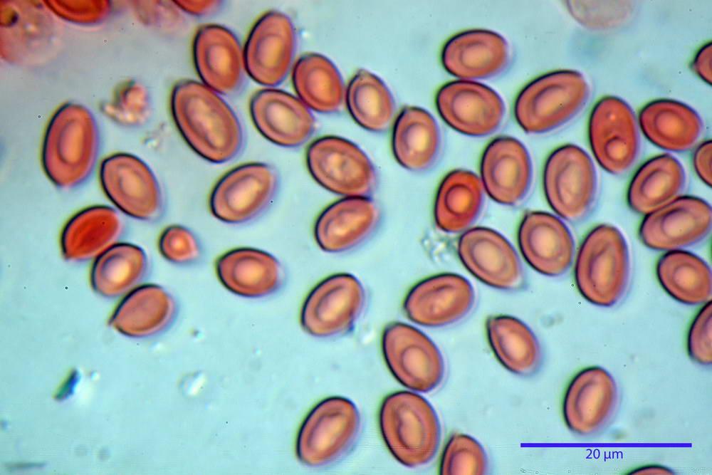 leucoagaricus cinerascens 5025 71.jpg
