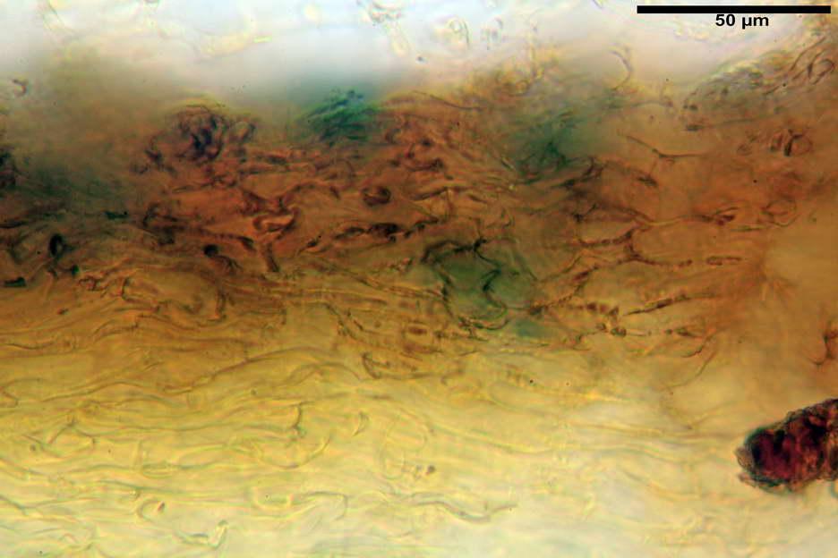 pholiota higlandensis 4837 06.jpg