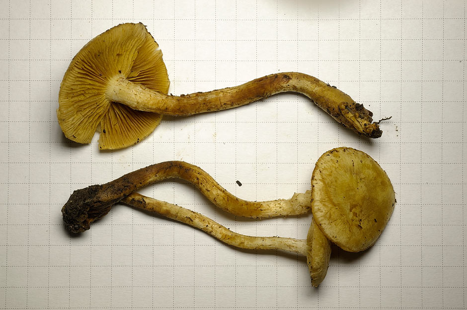 Pholiota conissans 4823 07.jpg