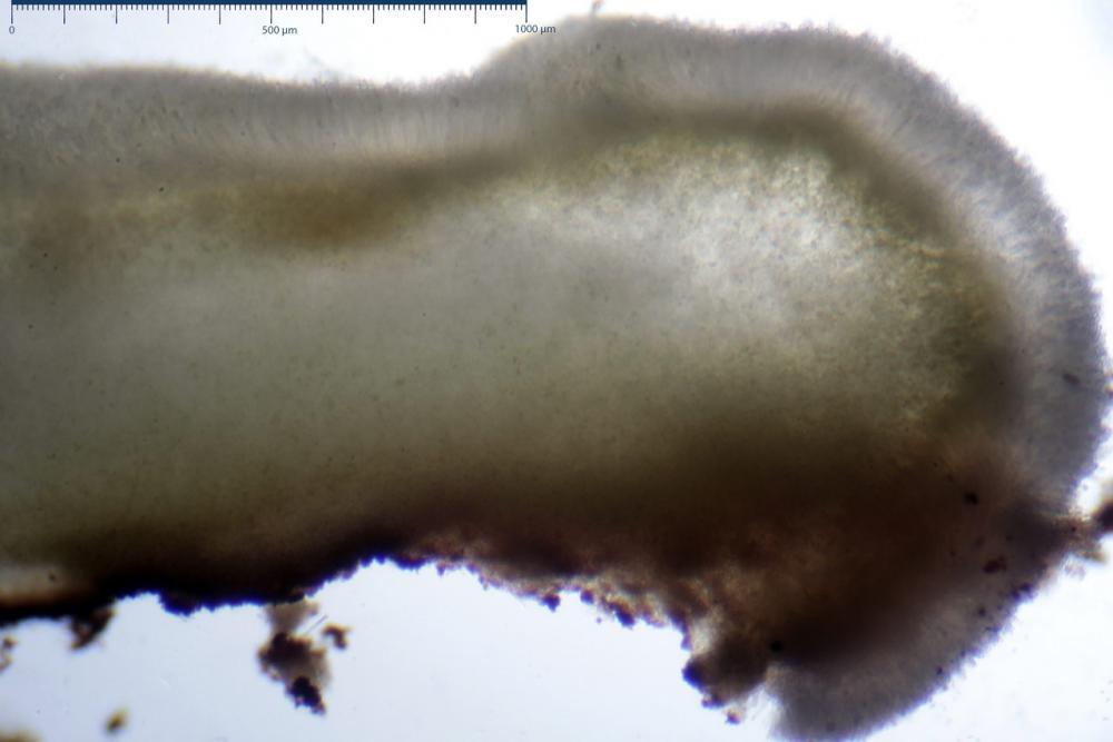 Podophacidium xanthomelum 7945 12_resize.JPG