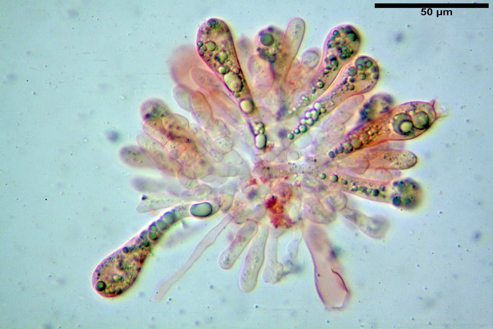 amanita ceciliae 22.jpg