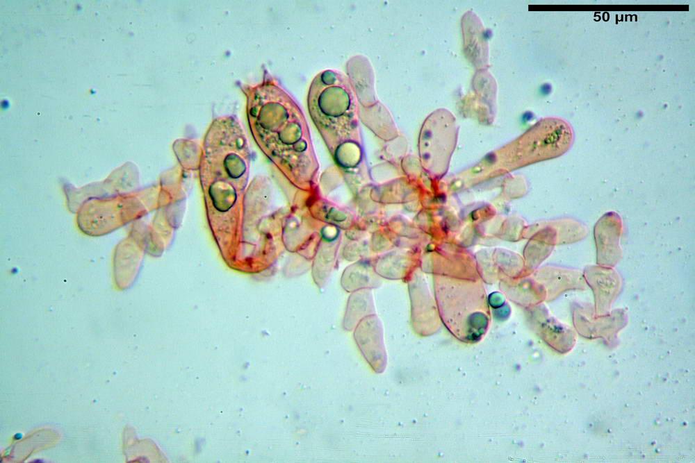 amanita ceciliae 21.jpg