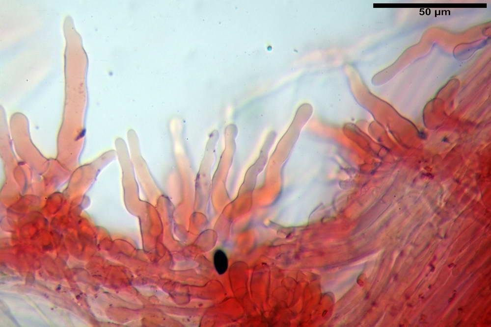 panaeolus acuminatus053.jpg