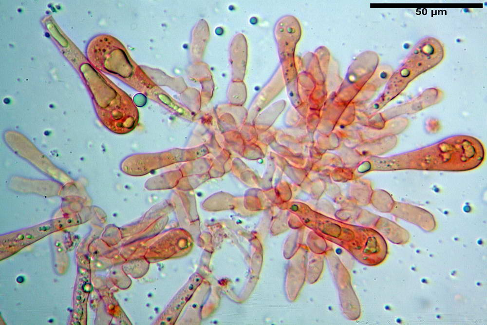 amanita ceciliae 36.jpg