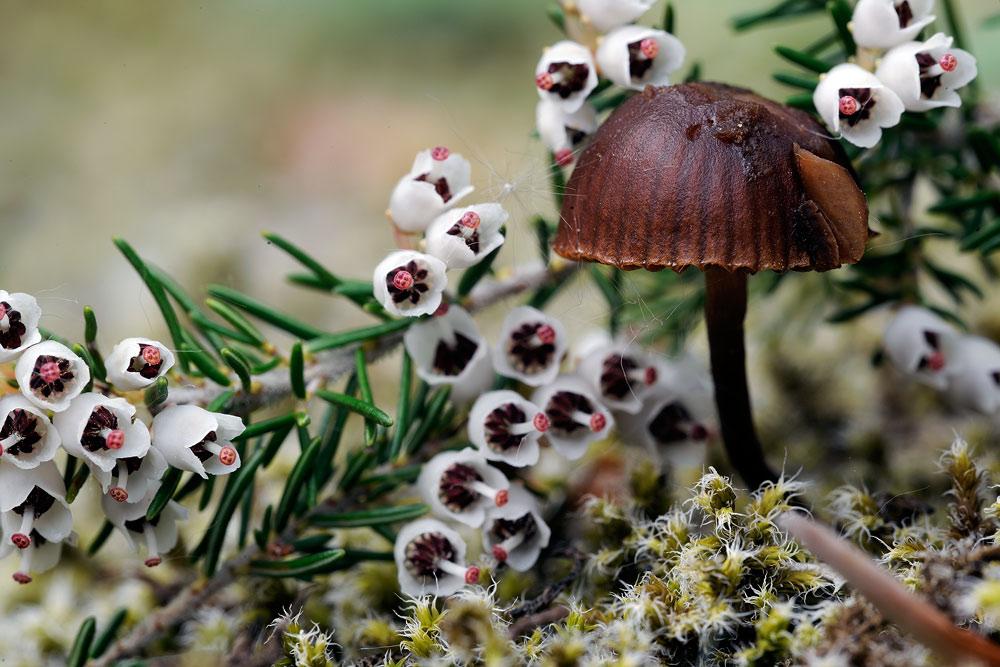 psilocybe montana var montana 5058 02.jpg