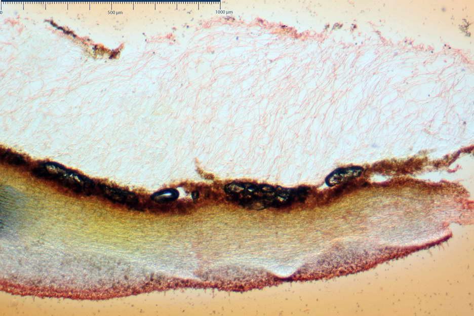 pholiota higlandensis 4837 01.jpg