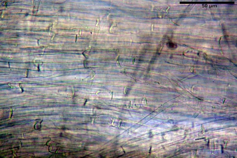 Inocybe flocculosa var crocifolia 7068 86.jpg