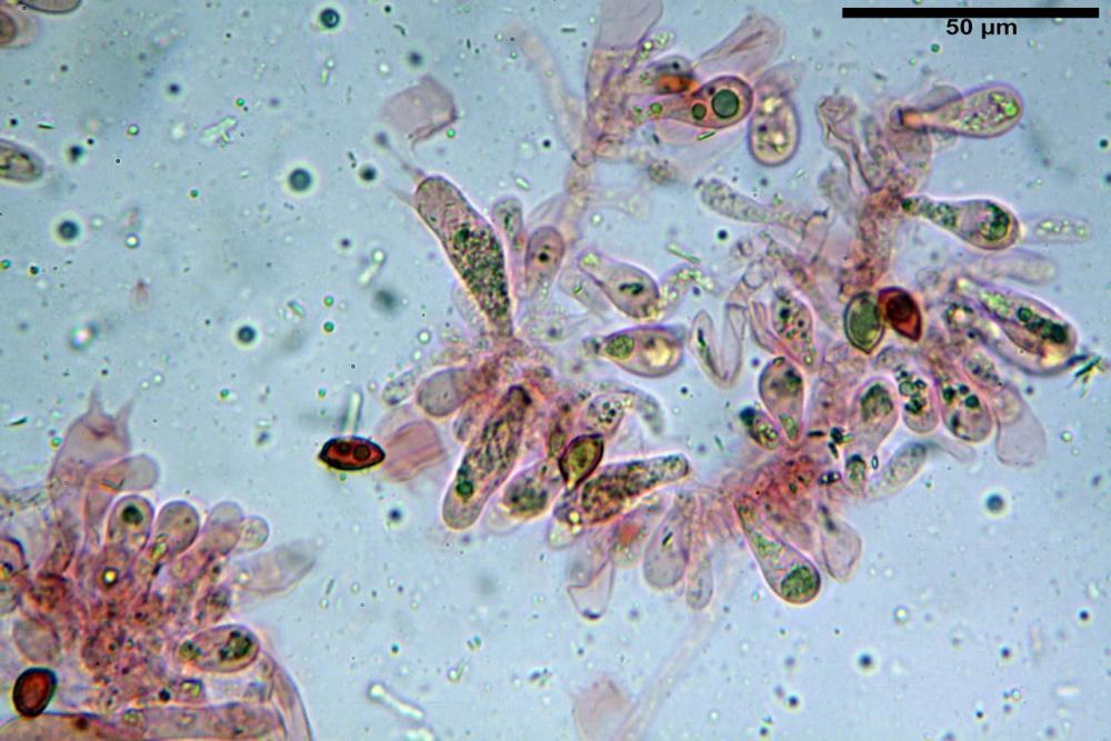 Hebeloma quercetorum 7370 38.JPG