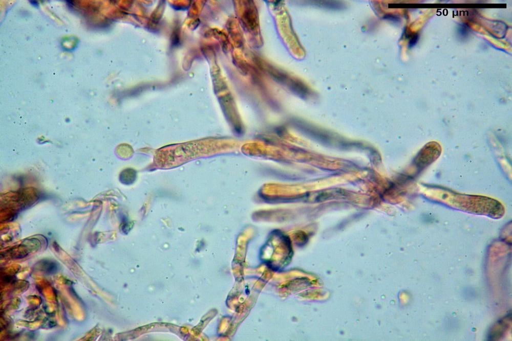 Craterellus cornucopioides fo  lutea 08 _resize.JPG