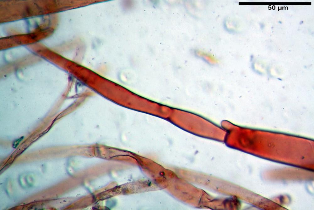 pluteus sandalioticus 16 .jpg