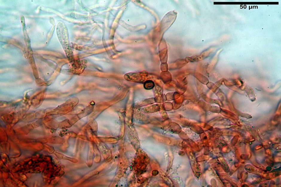 russula pseudoaeruginea 14.jpg