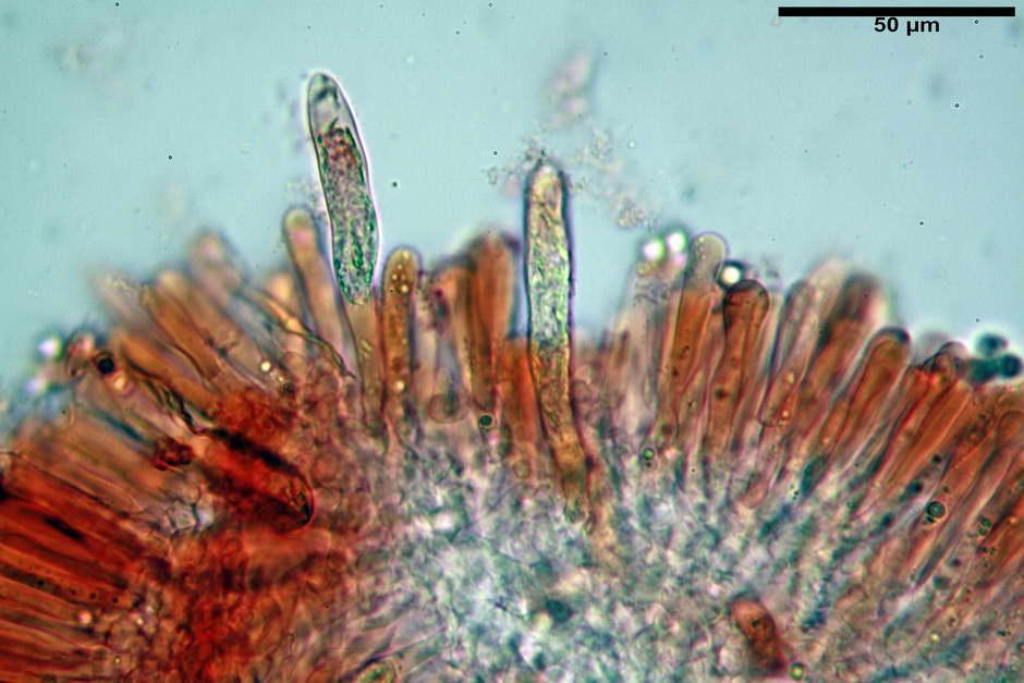 russula pseudoaeruginea 45.jpg