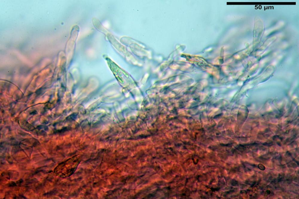 Hypholoma radicosum 6693 24.jpg