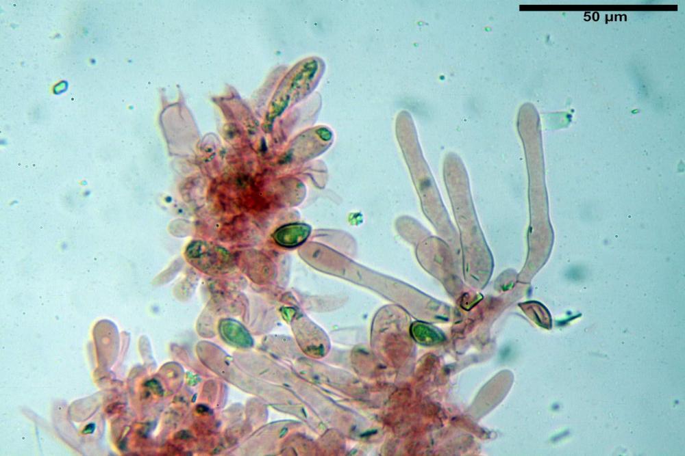 Hebeloma quercetorum 7370 32.JPG