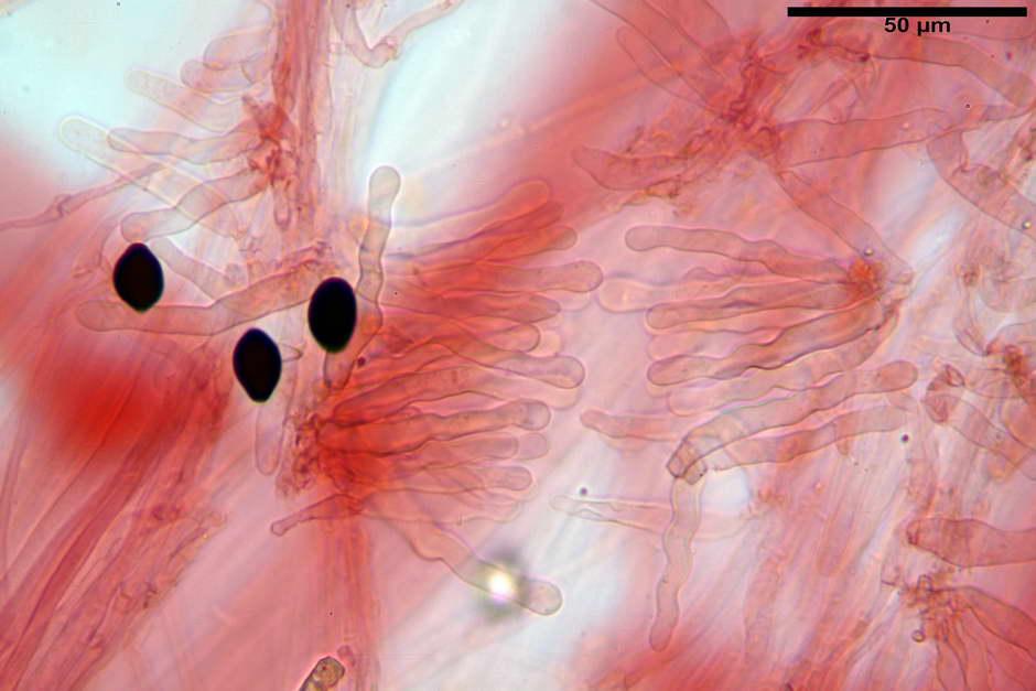 panaeolus papilionaceus var papilionaceus 4682 docx 60.jpg