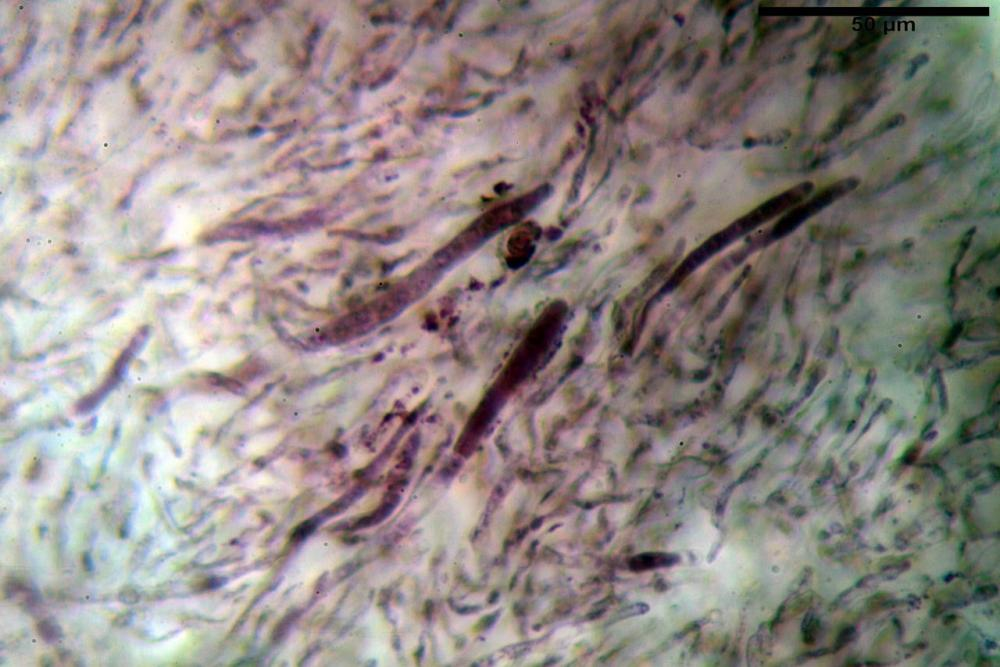Russula tinctipes 7355 09.jpg