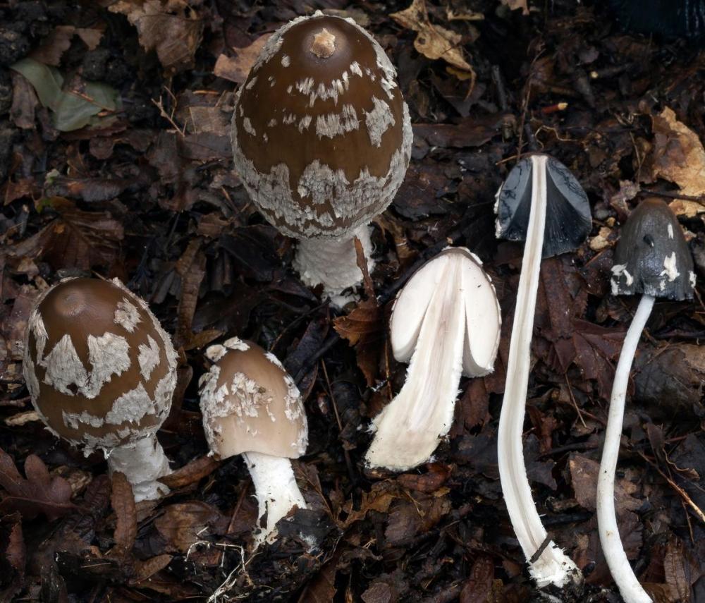Coprinopsis picacea 6790 36.jpg