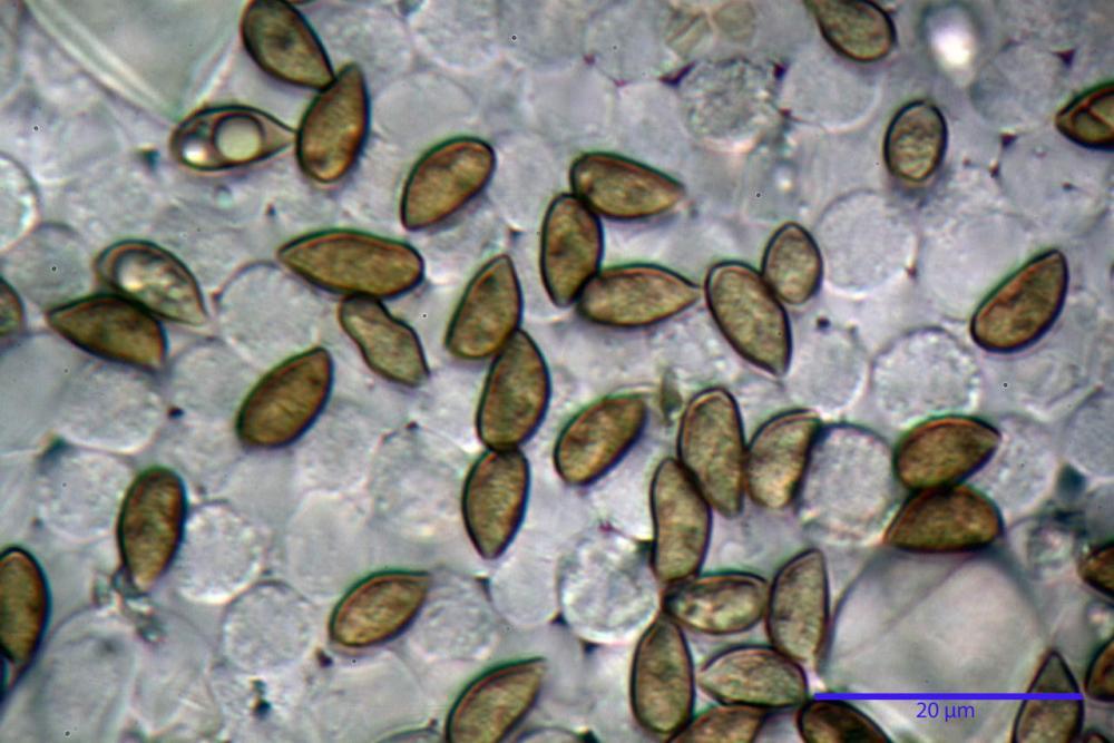 Inocybe phaeodisca var geophylloides 5226 29.jpg