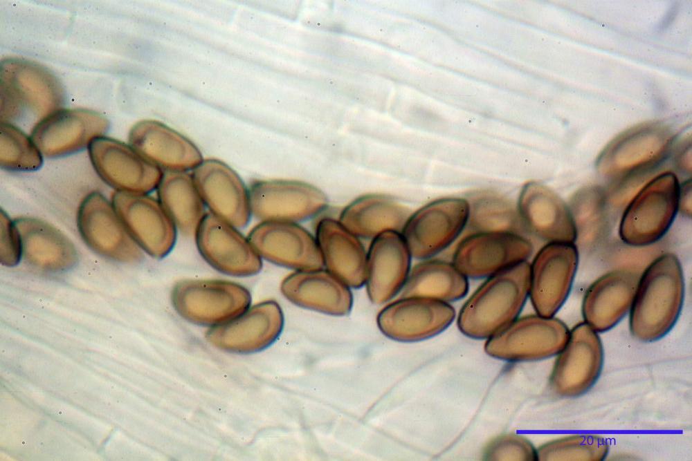 Inocybe flocculosa var crocifolia 7068 72.jpg