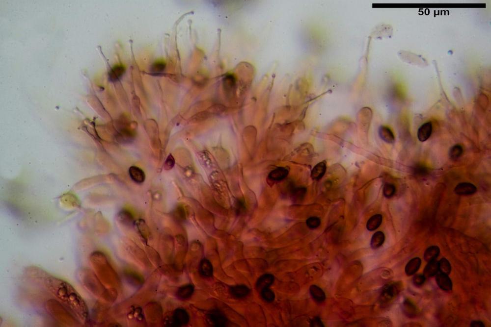 Phaeocollybia lugubris 6657 34.jpg