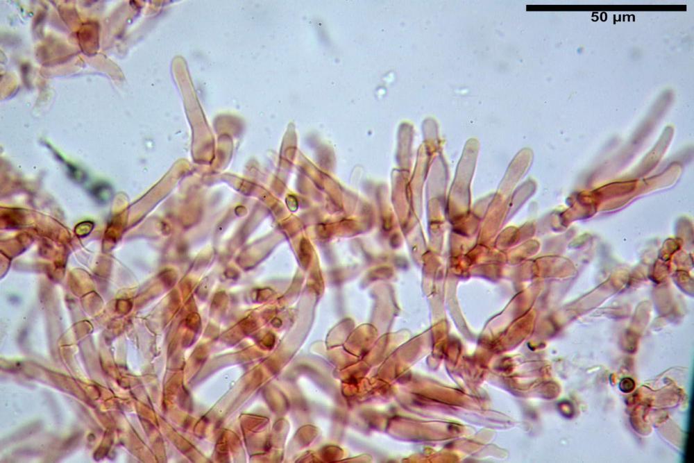 Hypholoma radicosum 6693 09.jpg