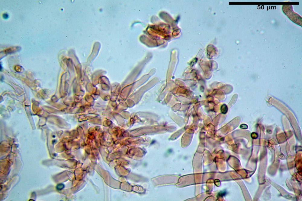Hypholoma radicosum 6693 10.jpg