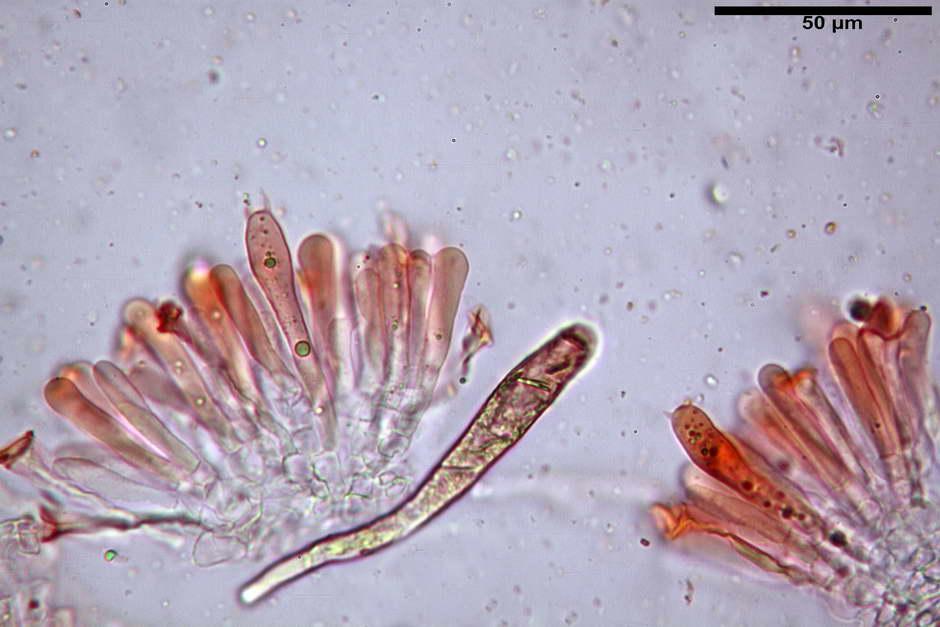 russula pseudoaeruginea 59.jpg