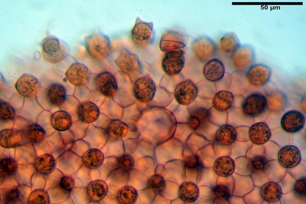 Coprinopsis picacea 6790 25.jpg