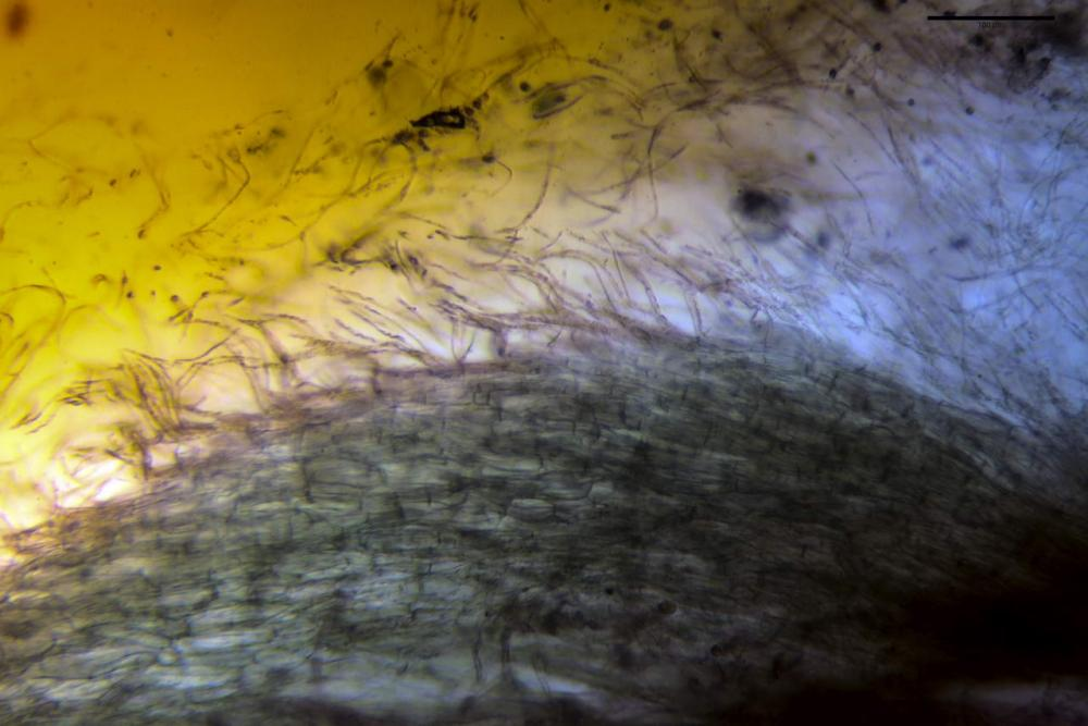 Phaeocollybia lugubris 6657 12.jpg