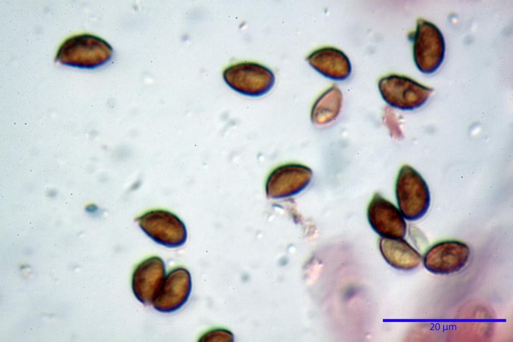 Phaeocollybia lugubris 6657 66.jpg