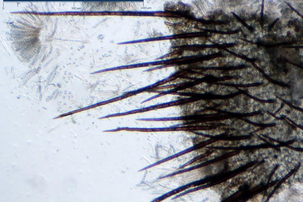 Scutellinia crinita 7493 19.jpg