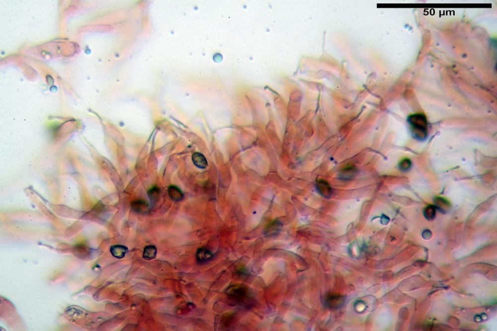 Phaeocollybia lugubris 6657 36.jpg