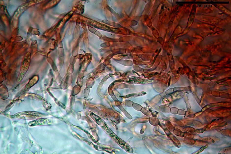 russula pseudoaeruginea 13.jpg