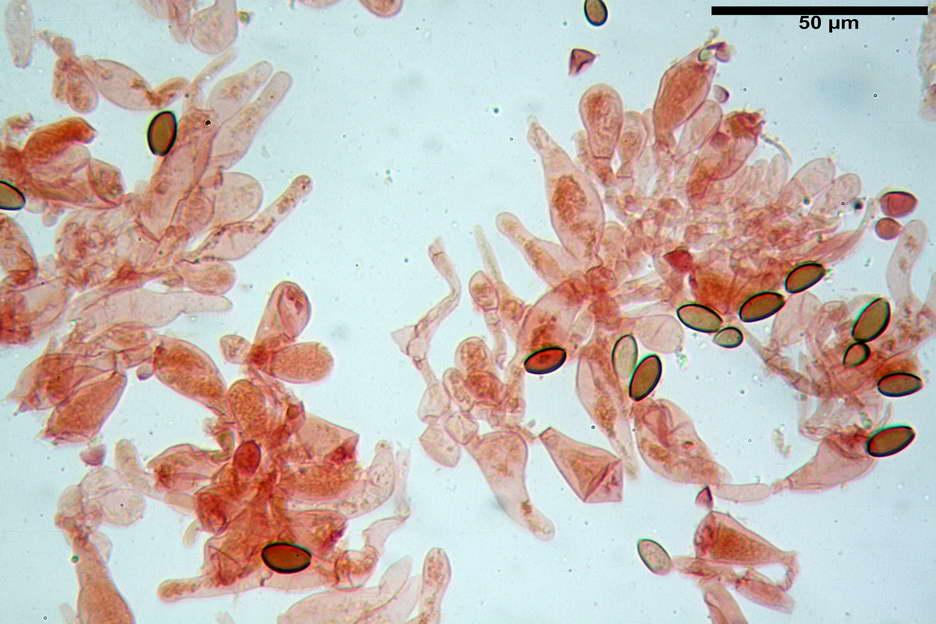 pholiotina nemoralis var nemoralis 4834 31.jpg