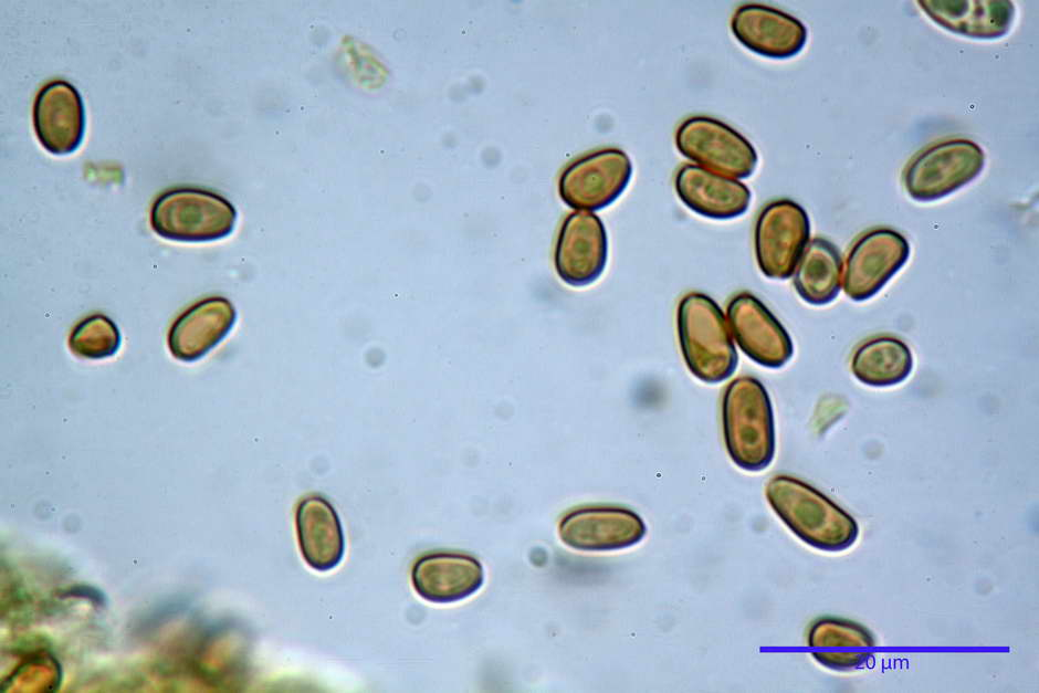 Pholiota conissans 4823 67.jpg