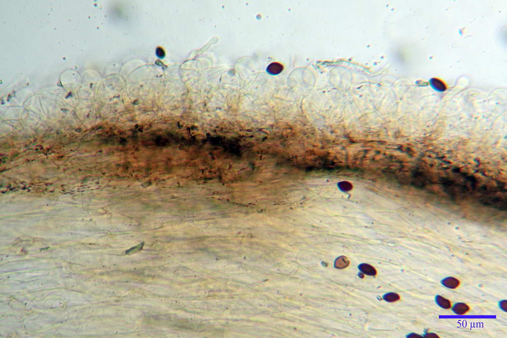 panaeolus papilionaceus var papilionaceus 5070 06.jpg