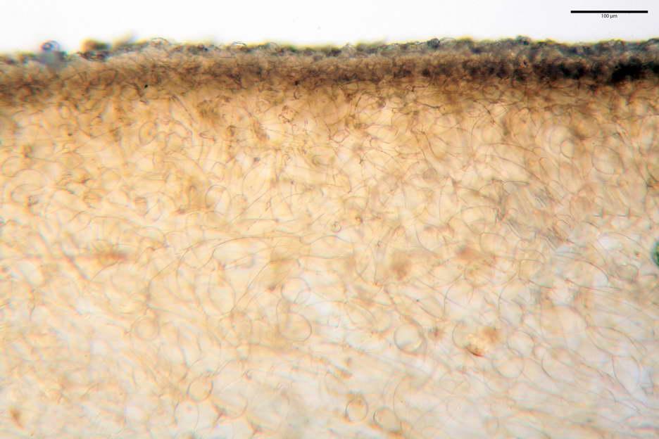 pholiotina nemoralis var nemoralis 4834 10.jpg