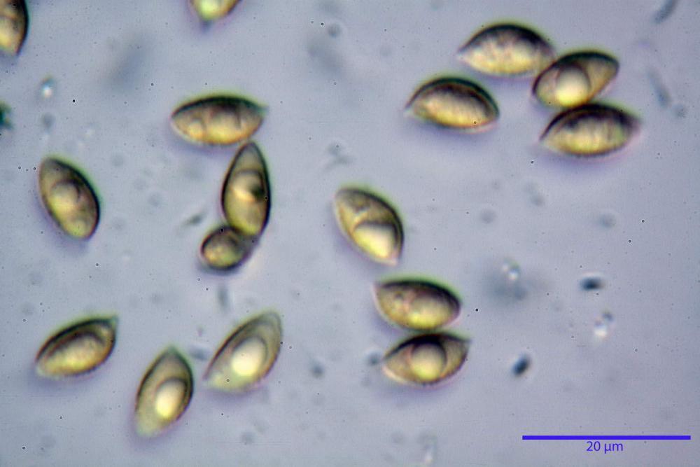 Hebeloma quercetorum 7370 55.JPG