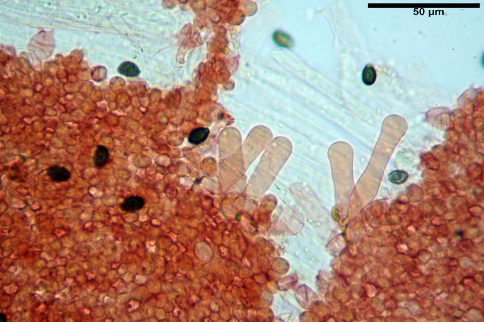 lacrymaria lacrymabunda 4754 45.jpg