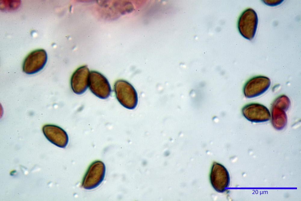 Phaeocollybia lugubris 6657 71.jpg