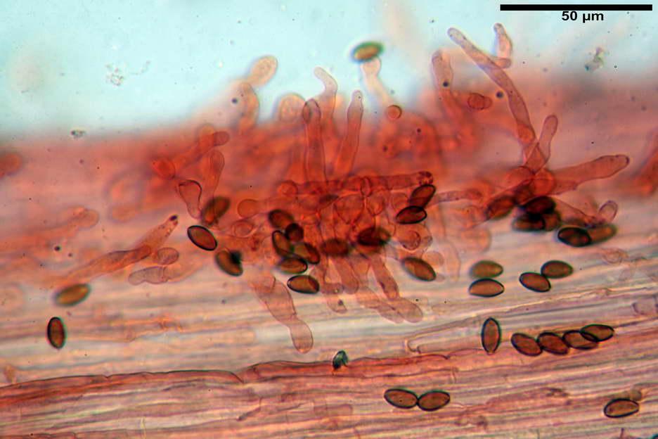 pholiotina nemoralis var nemoralis 4834 65.jpg