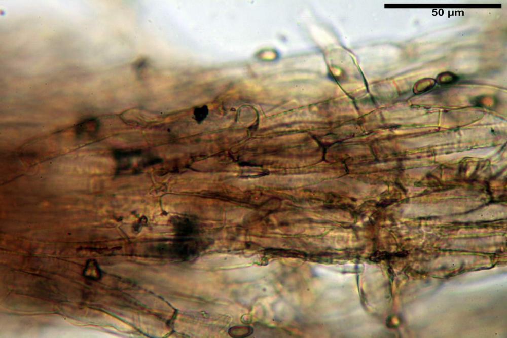Inocybe flocculosa var crocifolia 7068 12.jpg