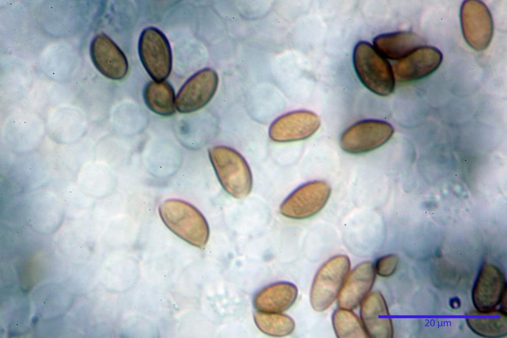 Pholiotina dasypus 7474 23.JPG